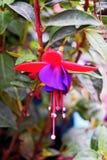 Un photogragh del bokeh di bella crescita di fiori rosa e porpora di fushsia nel giardino fra le foglie verdi immagine stock