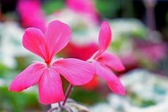 Un photogragh del bokeh di una certa crescita di fiori rosa delicata nel giardino fra le foglie verdi immagine stock libera da diritti