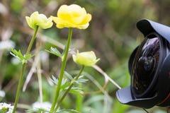 Un photographe prenant des photos de pivoine de jaune de montagne Images libres de droits