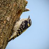 Un picchio lanuginoso fuori di un foro in un albero fotografia stock libera da diritti