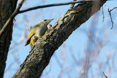 Un picchio verde sta cercando foraggio Cielo blu nei precedenti fotografia stock