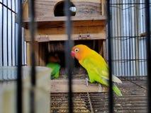 Un piccioncino è il nome comune del Agapornis un il piccolo genere del pappagallo fotografia stock libera da diritti
