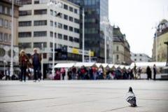 Un piccione Fotografia Stock
