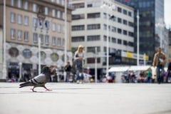 Un piccione fotografie stock