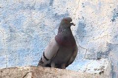 Un piccione Immagine Stock Libera da Diritti