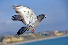 Un piccione che sorvola la costa del Pacifico Immagini Stock