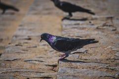 Un piccione con la porpora fotografie stock libere da diritti