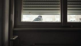Un piccione davanti alla finestra Fotografie Stock Libere da Diritti
