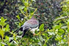 Un piccione della Nuova Zelanda nel territorio incolto Immagine Stock
