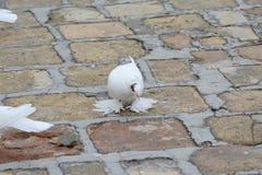 Un piccione di chiavetta che cammina sulla via Fotografia Stock