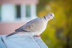 Un piccione grigio chiaro con fondo colorato Immagini Stock