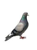 Un piccione grigio su un bianco Immagine Stock Libera da Diritti