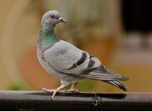 Un piccione selvatico comune fotografia stock libera da diritti