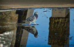 Un piccione su uno stagno della pavimentazione Fotografia Stock
