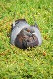 Un piccione sul resto fotografie stock libere da diritti