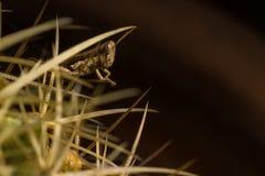 Un piccolo agguato marrone della cavalletta nel cactus fotografie stock