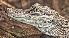 Un piccolo alligatore Fotografie Stock Libere da Diritti