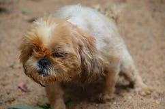Un piccolo animale domestico sveglio del cane con l'ente peloso fotografia stock