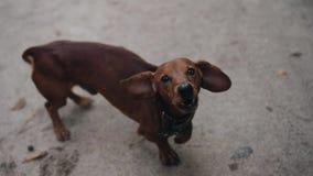 Un piccolo bassotto tedesco del cane funziona alla macchina fotografica e scorteccia minaccioso Animale domestico fresco Bello an video d archivio