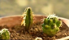 Un piccolo cactus rotondo in un vaso Fotografie Stock