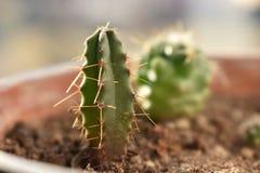 Un piccolo cactus in un vaso Immagini Stock