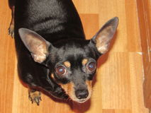 Un piccolo cane Fotografie Stock