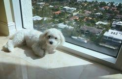 Un piccolo cane bianco che si trova al sole accanto ad una grande finestra Immagini Stock Libere da Diritti