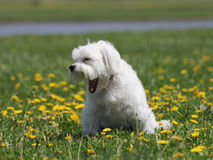 Un piccolo cane bianco con un grande sbadiglio. Immagini Stock
