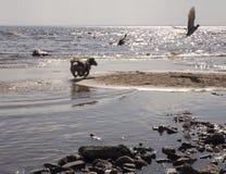Un piccolo cane che insegue gli uccelli sulla costa del mare fotografia stock libera da diritti