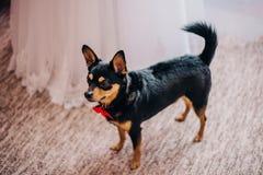 Un piccolo cane con un arco rosso intorno al suo collo, in attesa il matrimonio di un criceto, sta accanto alla sposa fotografia stock libera da diritti