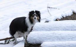 Un piccolo cane da pastore che si nasconde dietro le palle di neve nevose Immagini Stock