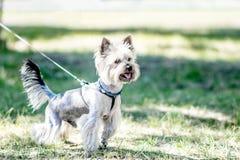 Un piccolo cane dell'Yorkshire terrier è pronto a funzionare Un giorno soleggiato piacevole in un parco Fotografia Stock