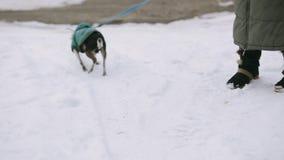 Un piccolo cane della chihuahua vestito in un rivestimento verde è tremolante e funzionamento lungo una via innevata Accanto è stock footage