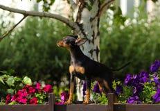 Un piccolo cane di abbronzatura e nero sta contro un albero di betulla bianca Immagini Stock Libere da Diritti