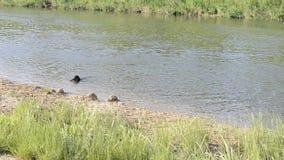 Un piccolo cane nero salta nell'acqua video d archivio