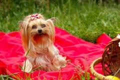 Un piccolo cane su un plaid rosso fotografie stock