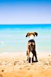 Un piccolo cane sulla spiaggia Fotografia Stock Libera da Diritti