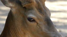 Un piccolo capriolo marrone esamina il suolo in uno zoo di estate nel slo-Mo video d archivio