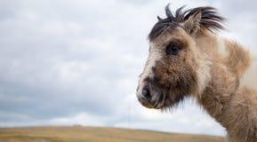 Un piccolo cavallino di Dartmoor Fotografia Stock