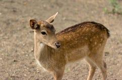 Un piccolo cervo sta e guarda dal lato Fotografie Stock Libere da Diritti