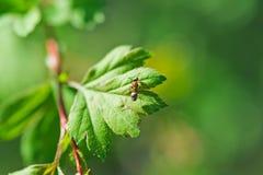 Un piccolo clamber delle formiche sulla foglia della pianta. Macro foto fotografie stock