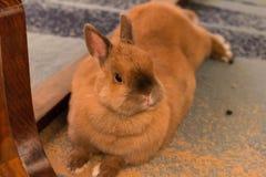 Un piccolo coniglio del bambino che si trova sul pavimento Fotografia Stock Libera da Diritti
