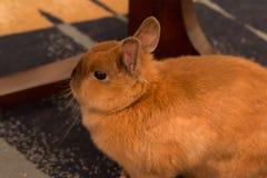 Un piccolo coniglio del bambino che si trova sul pavimento Fotografia Stock
