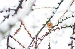 Un piccolo cono secco del larice Fotografia Stock
