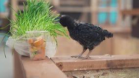 Un piccolo corvo si alimenta l'erba foraggera, primo piano archivi video