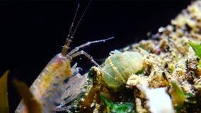 Un piccolo crostaceo del genere Gammarus, preso da un piccolo Actinia - un lineata di Diadumene dell'invasore stock footage