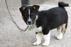 Un piccolo cucciolo nero con un seno bianco sta sul pavimento di calcestruzzo fotografia stock libera da diritti