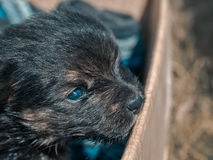 Un piccolo cucciolo scuro in una scatola Fotografia Stock