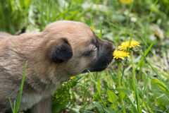 Un piccolo cucciolo sveglio della razza di Laikey respira l'aroma di un urlo Fotografia Stock Libera da Diritti
