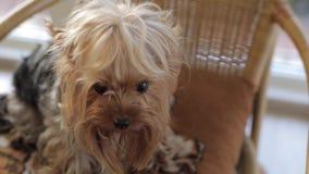 Un piccolo e bello cane di Yorkshire che esamina macchina fotografica stock footage